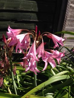 Which bloomed into pink lillies